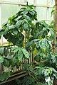 Berlin-Dahlem, botanischer Garten, Coffea robusta.JPG