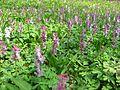 Berne botanic garden Corydalis cava.jpg
