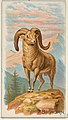 Bighorn, from the Quadrupeds series (N21) for Allen & Ginter Cigarettes MET DP835103.jpg