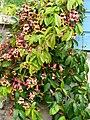 Bignonia capreolata Périgueux.jpg