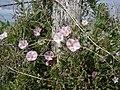 Bindweed - Convolvulus arvensis - geograph.org.uk - 1513072.jpg