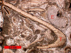 Folk classification - Image: Bioclasts Biosparite