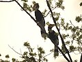Bird Great Hornbill Buceros bicornis pair 06.jpg