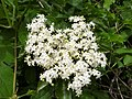 Blüte des Schwarzen Holunder.jpg