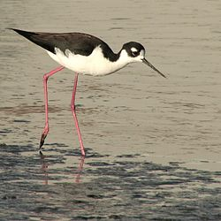 Black-Necked Stilt (Himantopus mexicanus) -Berkeley park.jpg