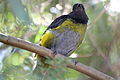 Black-and-yellow Silky-flycatcher (Phainoptila melanoxantha) (5771776069).jpg