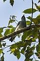 Black-bibbed Cuckoo-Shrike - Mindanao H8O1395 (17028149765).jpg