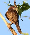Black-billed Cuckoo (Coccyzus erythropthalmus) (5821965275) (cropped).jpg