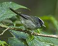 Black-cheeked Warbler - Panama H8O2164 (22648620728).jpg