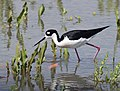 Black-necked Stilt (33489344744).jpg