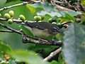 Black-throated Blue Warbler RWD2.jpg