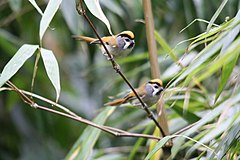 Black-throated Parrotbill.jpg