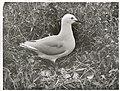 Black Billed Gull at nest. (Larus bulleri) Maori name Tarapunga (5).jpg