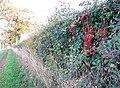 Black Bryony in hedge beside the footpath - geograph.org.uk - 1586385.jpg
