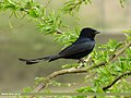 Black Drongo (Dicrurus macrocercus) (15271125664).jpg
