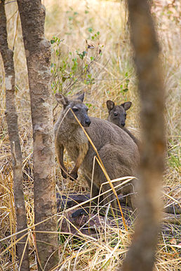 Black Wallaroo Nourlangie Rock in Kakadu NP.jpg