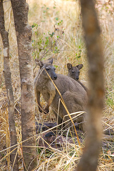 קובץ:Black Wallaroo Nourlangie Rock in Kakadu NP.jpg