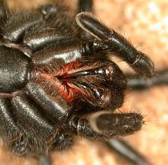 Mygalomorphae - Chelicerae of a black wishbone spider (Nemesiidae)