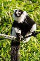 Black and white Ruffed Lemur (24936417802).jpg