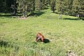 Black bear in yellowstone 2.jpg