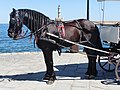 Black carriage horse in Chania, Creta.jpg