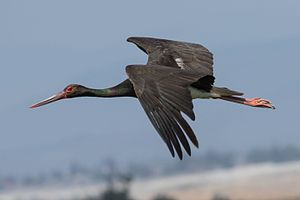 Black stork - Black stork in flight