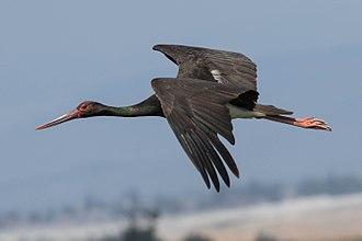 Black stork - Black stork in flight