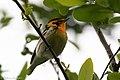 Blackburnian Warbler (male) Sabine Woods TX 2018-04-22 09-33-43 (40185387470).jpg