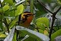 Blackburnian Warbler (male) Sabine Woods TX 2018-04-22 09-38-14 (40185403960).jpg