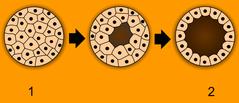 1 - morula, 2 - blastula