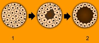 胚珠を寄付するプロセス
