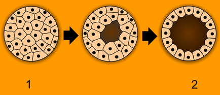 Animals are unique in having the ball of cells of the early embryo (1) develop into a hollow ball or blastula (2). Blastulation.png