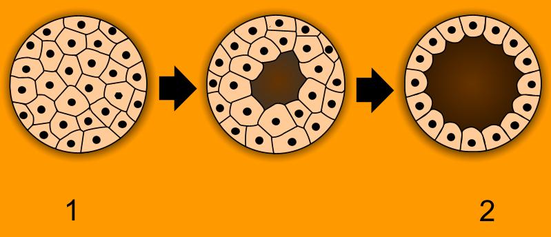 Blastulation