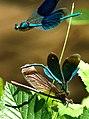Blauflügel Prachtlibellen bei der Paarung. 07.jpg