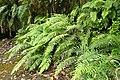 Blechnum novae-zelandiae kz16.jpg