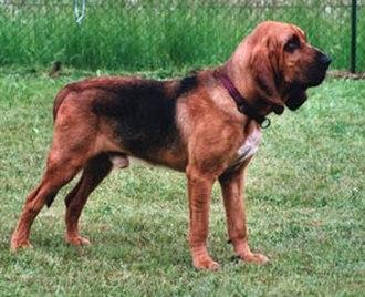 Bloodhound - Image: Bloodhound 800
