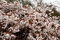 Blooming-weeping-cherry-tree - West Virginia - ForestWander.jpg