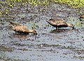 Blue-winged Teal & Green-winged Teal in eclipse plumage (30359501358).jpg