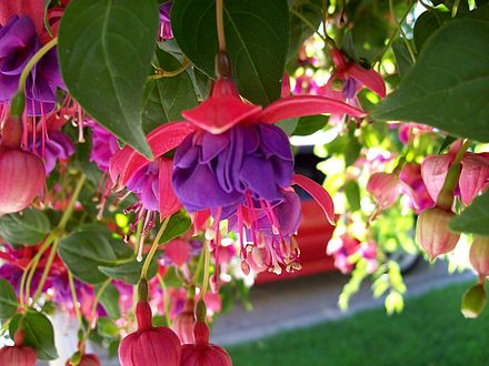 Blue Eyes Fuchsia flower and buds, from order Myrtales and family Onagraceae Blue Eyes Fuchsia.JPG