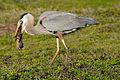 Blue Heron 3.jpg