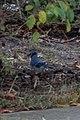 Blue Jay (Cyanocitta cristata) - Guelph, Ontario.jpg