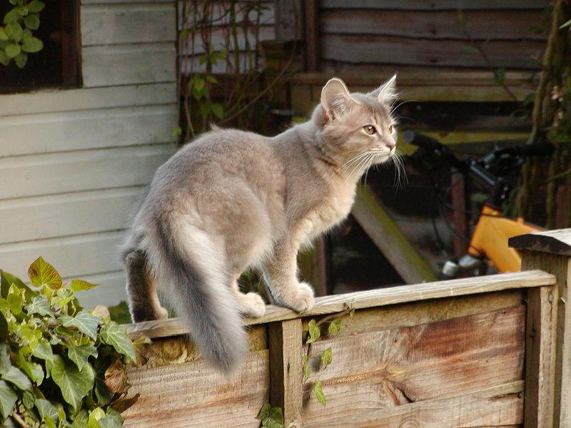 ملف:Blue Somali kitten age 3 months.jpg