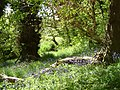 Bluebells by fallen branch - panoramio.jpg