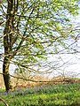 Bluebells extending into field - April 2012 - panoramio.jpg