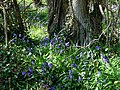 Bluebells in Shere Copse - geograph.org.uk - 1270790.jpg