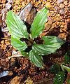 Boesenbergia tiliifolia 03.JPG