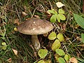 Boletus mushroom in Danby Park - geograph.org.uk - 576486.jpg