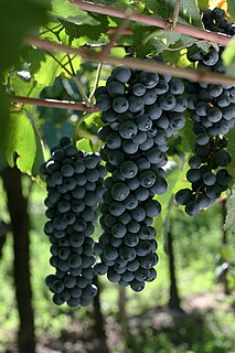 Douce noir Variety of grape