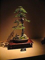 Bonsai IMG 6422.jpg