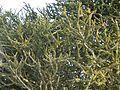 Boscia foetida rehmanniana Bushveld Sheperds Tree 1.JPG